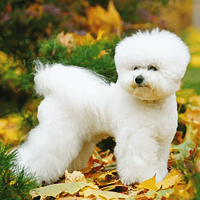 A Bichon Frise in a Seattle park