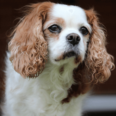 A King Charles Spaniel, one of the best dog breeds for seniors