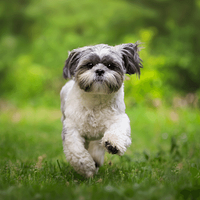 A Shih Tzu running toward its owner in a park in West Seattle