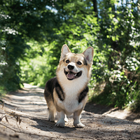 A small corgi in a Seattle park