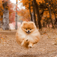 Pomeranian running through Seattle park during the fall