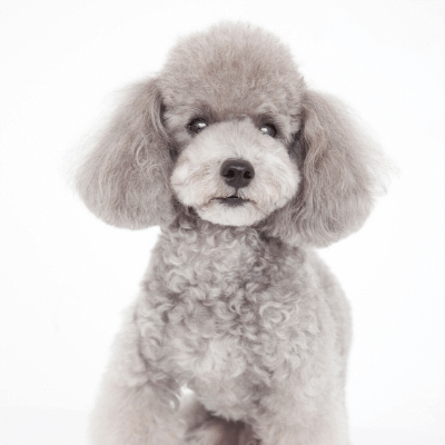 Well-groomed poodle, one of the best dog breeds for seniors