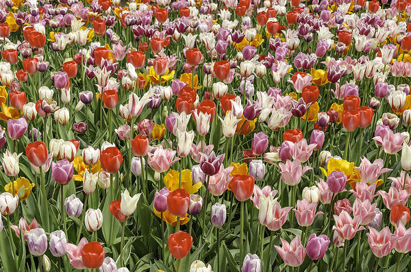 Floral celebration of spring Marvelous multicolored extravaganza of tulip hybrids in a massive garden bed