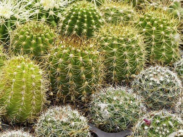 Several rows of small young cacti in greenhouse